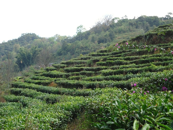 Yunnan Tea Plantations