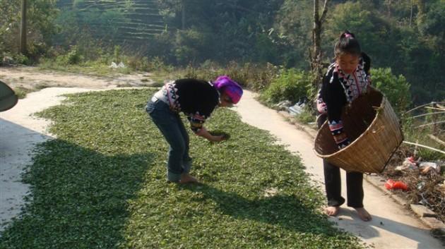 Pu'er (Pu-erh) Tea Production